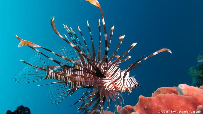 Lionfish (CC BY 3.0/Alexander Vasenin)