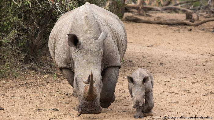 Baby rhino and an adult (Picture: picture-alliance/robertharding)