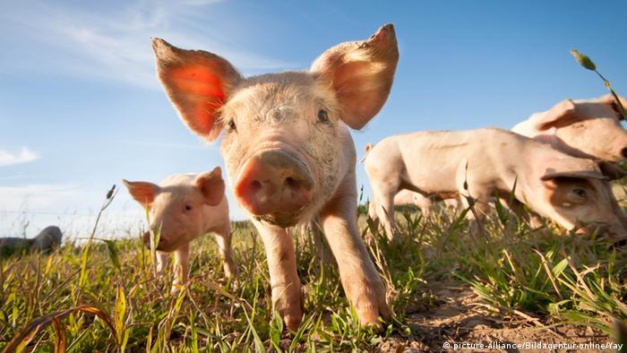 Little pigs (Picture: picture-alliance/dpa/M. Balk)