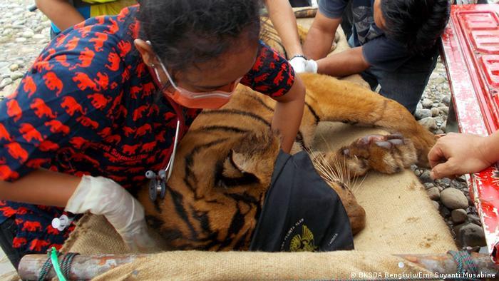 Indonesien Sumatra Erni Suyanti Musabine Tiger Artenschutz