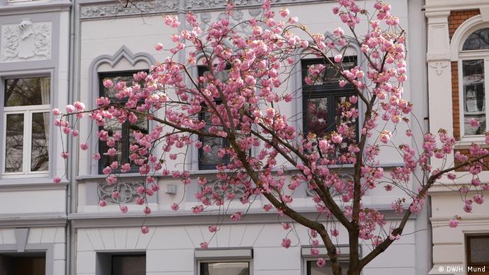 Kirschblütenzauber in Bonn (Foto: Heike Mund)