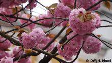 17.04.2016 Kirschblüten-Hype in Bonn (NRW, Deutschland): Jedes Jahr wieder ein spektakuläres Schauspiel: die Kirschblüte in der Bonner Altstadt. Die ersten Blüten sind in der sonnigen Maxstrasse zu sehen, die Heerstrasse liegt mehr im Norden und blüht sehr viel später. 2016 sind die Blüten spät dran, die Witterung ist noch zu kalt für die zarten Blüten. Aber das hält Touristen aus aller Welt und auch aus Japan nicht davon ab, in Scharen nach Bonn zu kommen und unzählige Fotos von dem Kirschblütentraum zu schießen. Höhepunkt ist auch in diesem Jahr wieder das Kirschblütenfest am 23. April 2016; Copyright: DW/H. Mund