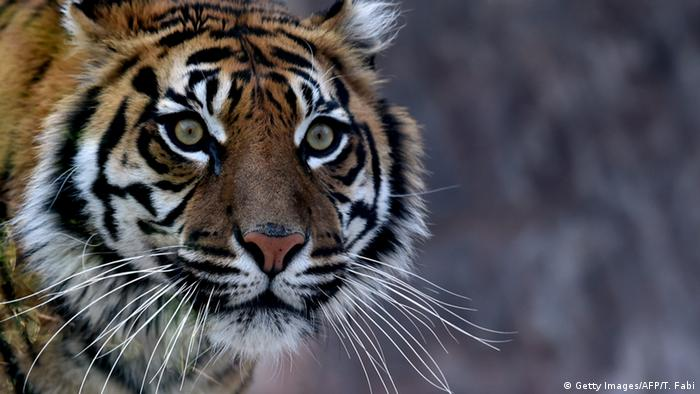 Symbolbild Sumatra-Tiger (Getty Images/AFP/T. Fabi)