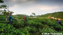 Bangladesch Tee Ernte