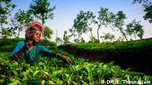 Tea Industry and tea labourers of Bangladesh