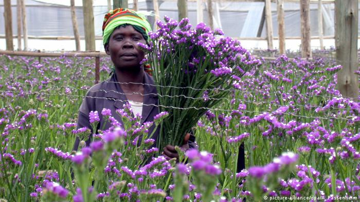 A Kenyan man picking flowers that are exported to Europe