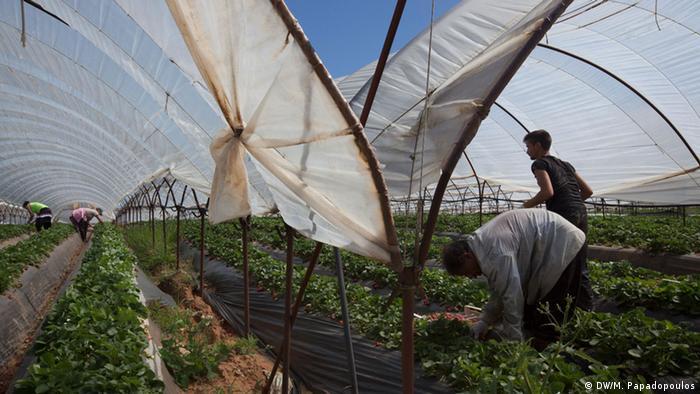 strawberry pickers Copyright: Myrto Papadopoulos,