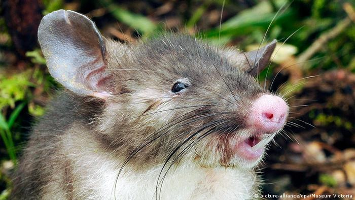 A newly discovered rat with a pig-like nose, large incisors and big, round ears.