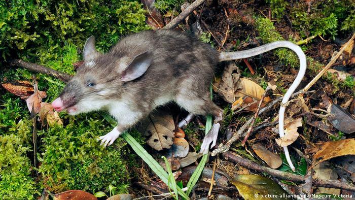 Neue Art von Säugetier entdeckt Spezies Indonesien