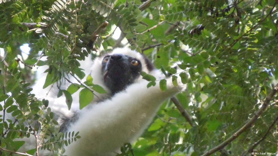 los lmures de madagascar perdern pronto sus hogares los lindos habitantes forestales