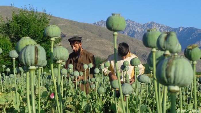 Afghanistan Mohnernte in Nangarhar