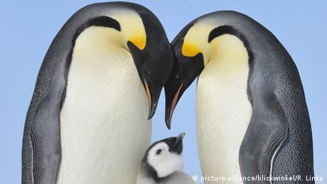 Emperor penguins with a chick. Photo credit: picture-alliance/blickwinkel/R. Linke.
