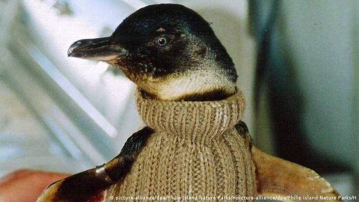 Australien Phillip Island Zwergpinguin im «Pullover» aus Wolle
