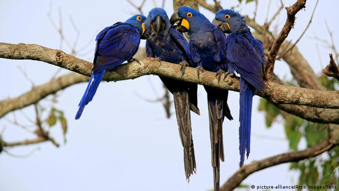 Brasil- Hyacinth macaws (Photo: picture-alliance/Arco Images/Tuns)