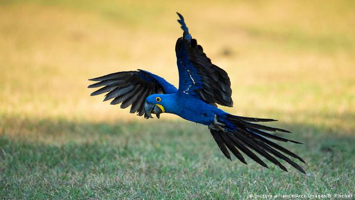 A hyacinth macaw in flight over Brazil's Pantanal (Photo: picture-alliance/Arco Images/B. Fischer)