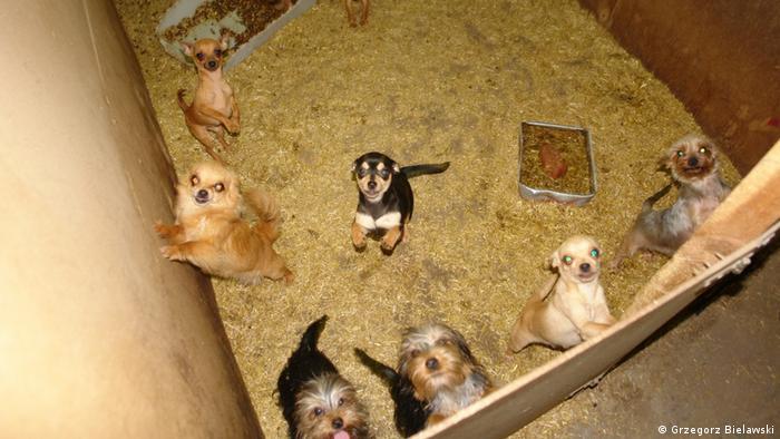 Polen Zory Wabrzezno Hunde in Hundezucht in Polen