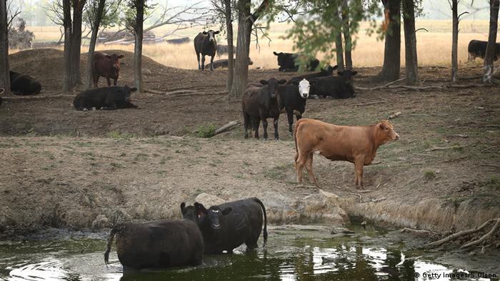 Vacas y poza de agua.