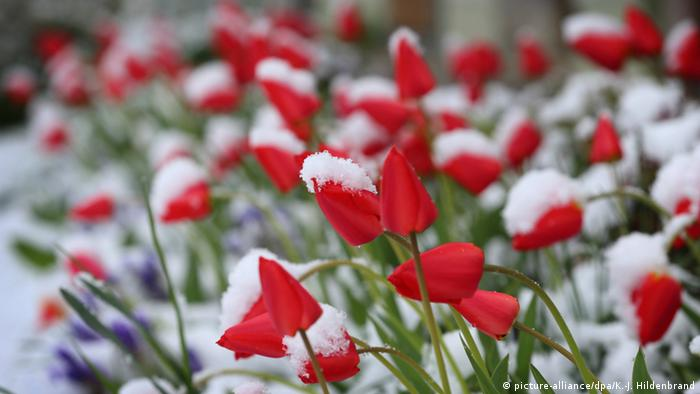 Tulips in snow (picture-alliance/dpa/K.-J. Hildenbrand)