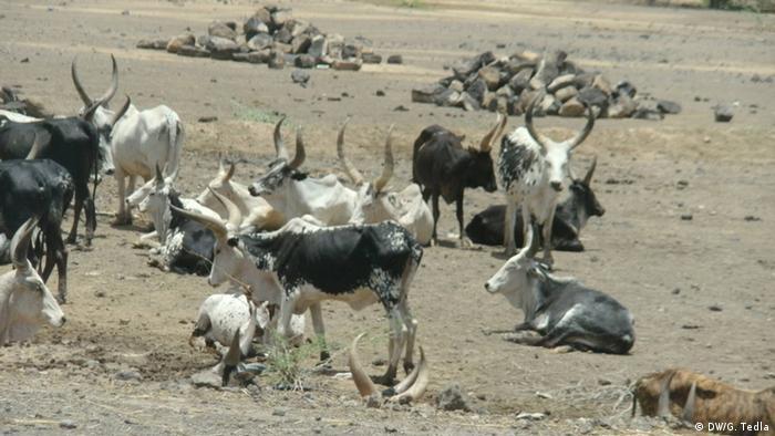 Äthiopien Afar Kühe Rinder in trockener Landschaft (c) DW/G. Tedla