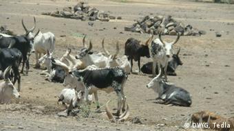 Abgemagerte Rinderherde: In Äthiopien sterben ganze Vieherden durch die Dürre