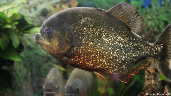 Pet Savages Bet You Never Knew Piranhas Were Shy Easily Startled And Conservative Science In Depth Reporting On Science And Technology Dw 23 05 2016
