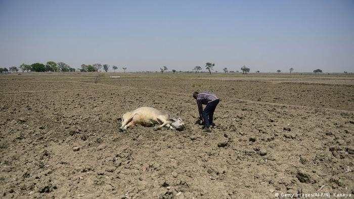 Indien Allahabad Trockenheit Wassermangel Rinder, (Getty Images/AFP/NJ. Kanojia)