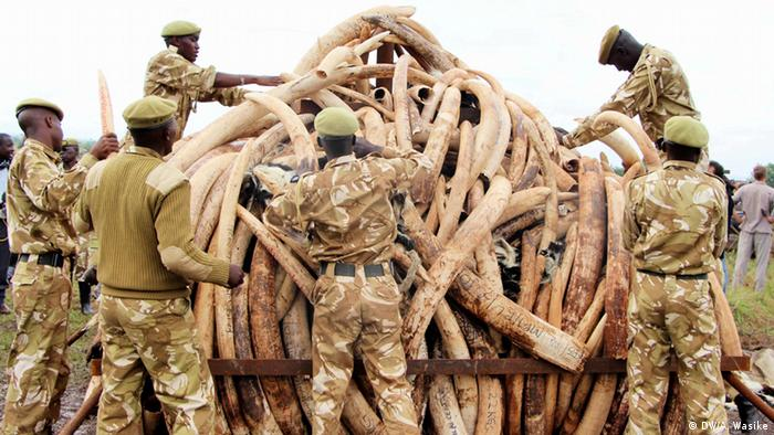 Kenyan soldiers pile ivory to a mound to be burned Photo: Andrew Wasike