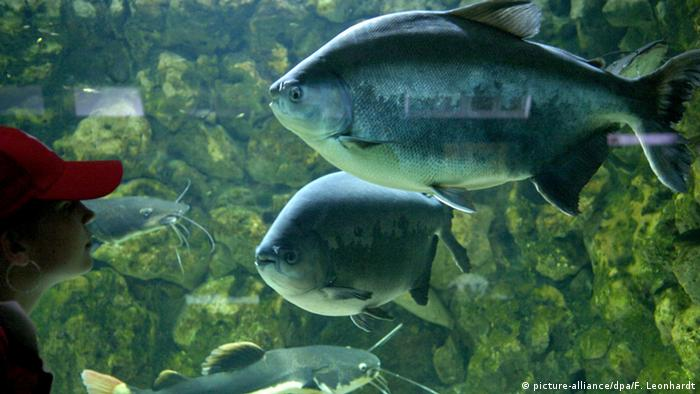Fish swimming in aquarium at Munich's Hellabrunn Zoo (picture-alliance/dpa/F. Leonhardt)