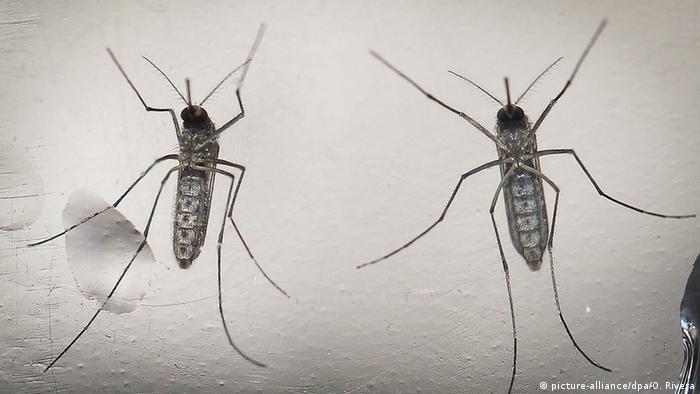 Mosquito que transmite a zika