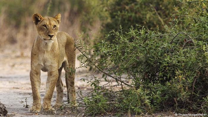 African lion (Picture: Imago/imagebroker)