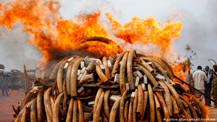 A pile of ivory is set ablaze by Kenya's President Mwai Kibaki at Tsavo West National Park in Kenya, 20 July 2011. Photo: EPA/DAI KUROKAWA