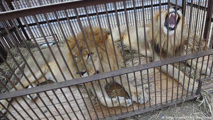 Peru Zirkuslöwen werden nach Südafrika zurückgebracht