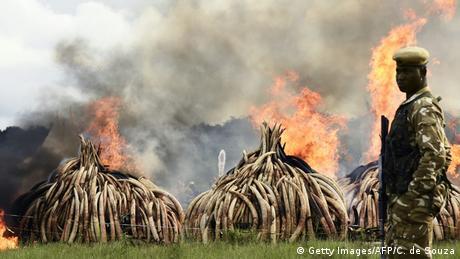 Kenia Verbrennung von Elfenbein (Getty Images/AFP/C. de Souza)