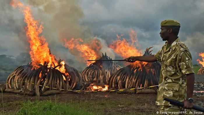 Kenyan soldier presides over mass burning of elephant tusks.