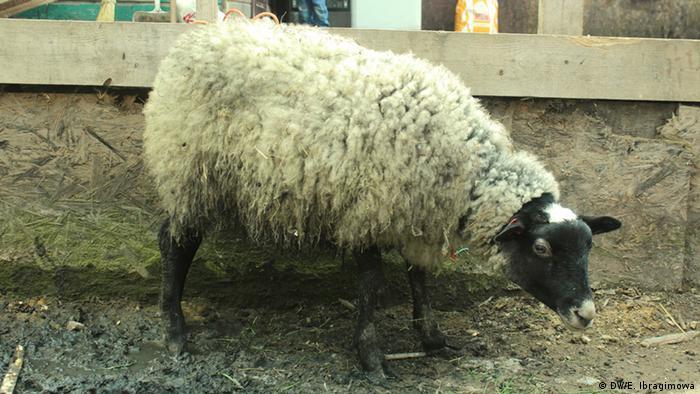 Овца в Плеханово