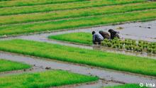 Iran Landwirtschaft Reisanbau