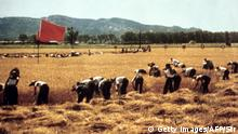 1971*** Agricultural Brigade workers are seen harvesting with red flags in the background in a picture released by Xinhua Agency in 1971. CHINA OUT (Photo credit should read STR/AFP/Getty Images) (c) Getty Images/AFP/Str