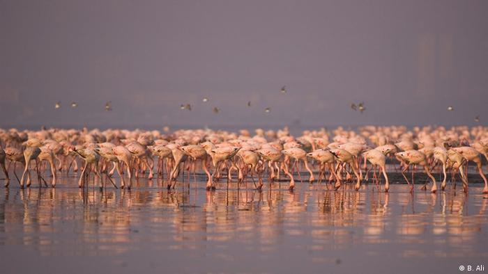 Flamingos in Mumbai, India