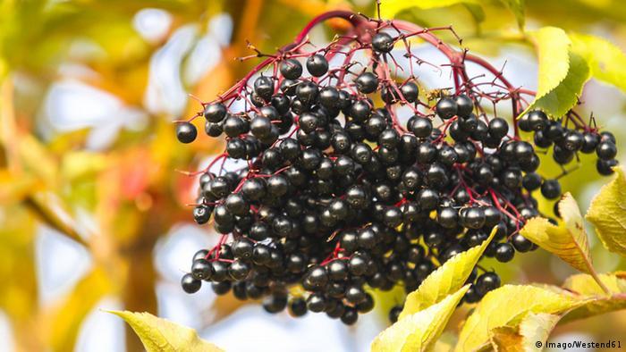 elederberries (Imago/Westend61)