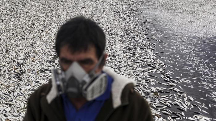 A fisherman walks on a beach blanketed with dead sardines in Tolten, Temuco, Chile, Sunday, May 15, 2016. (picture-alliance/AP Photo/F. Marquez)