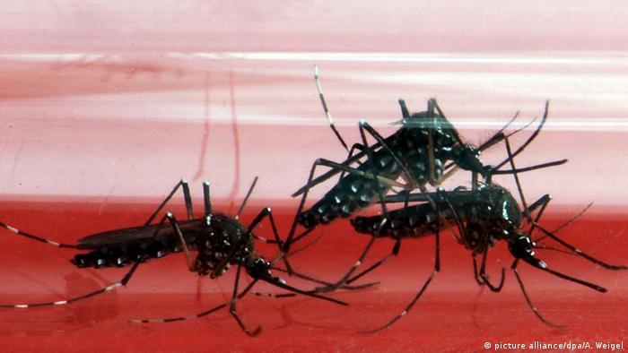 Gelbfiebermücken (picture alliance/dpa/A. Weigel)