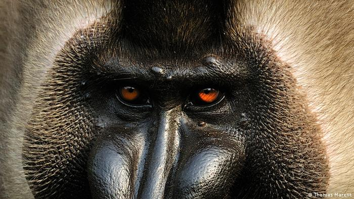 Eyes of a drill monkey