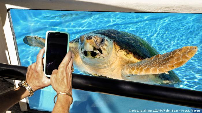 Turtle in water, Florida, USA