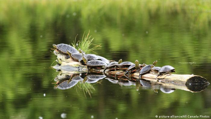 Turtles in British Columbia, Canada