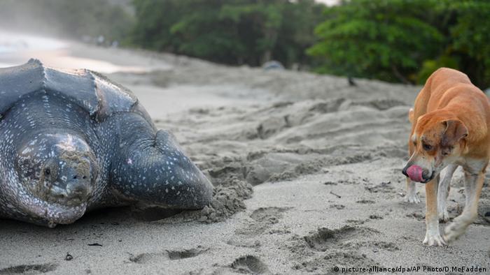 Leatherback turtle on land
