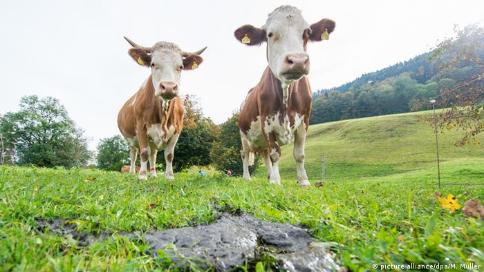 Two cows in the meadow