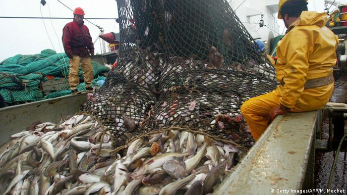 A haul of fish on a trawler