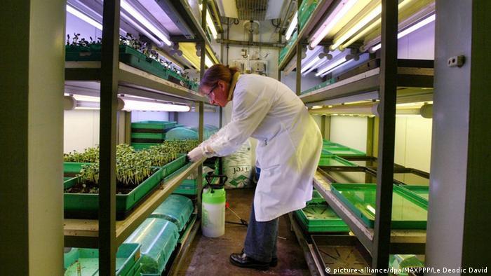 Генетично модифікована кукурудза від Monsanto особливо добре переносить застосування гліфосату