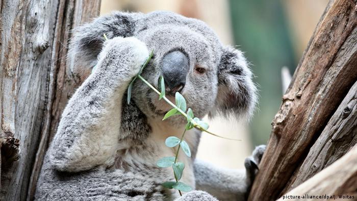 Koala to serve as ′animal oracle′ at Euro 2016   News   DW