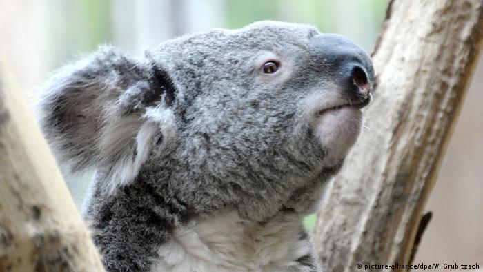 Deutschland Koala Oobi-Ooobi im Zoo Leipzig wird EM-Orakel